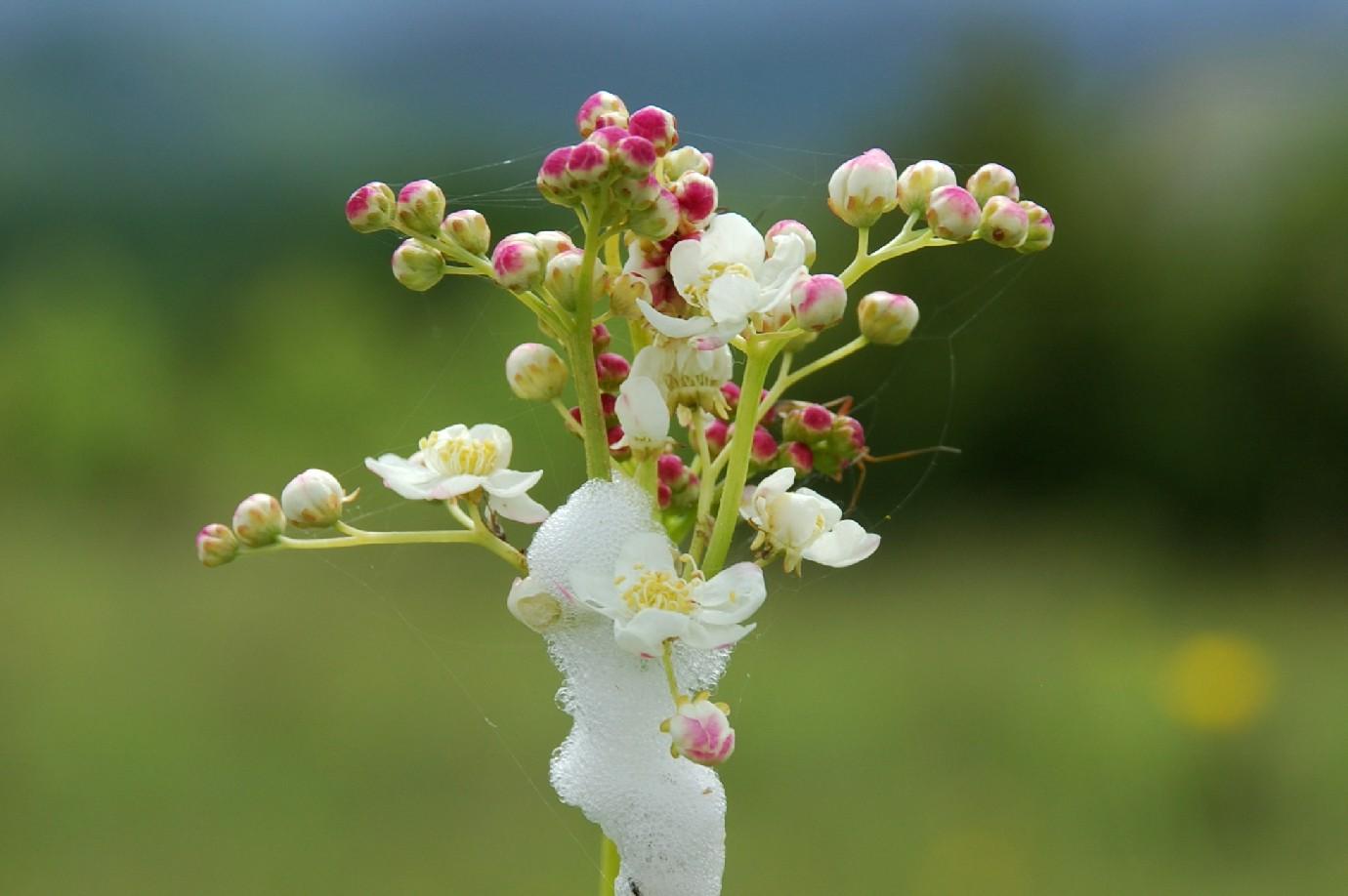 Filipendula vulgaris 15