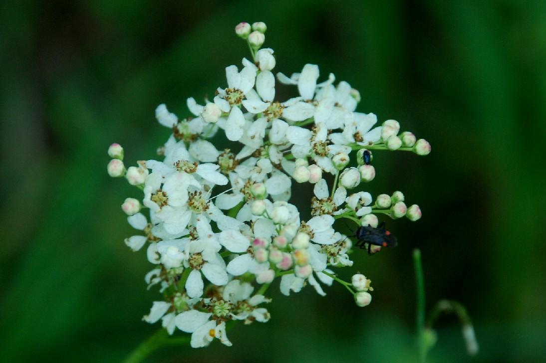 Filipendula vulgaris 17