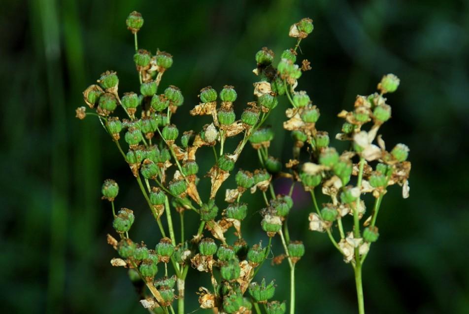 Filipendula vulgaris 19