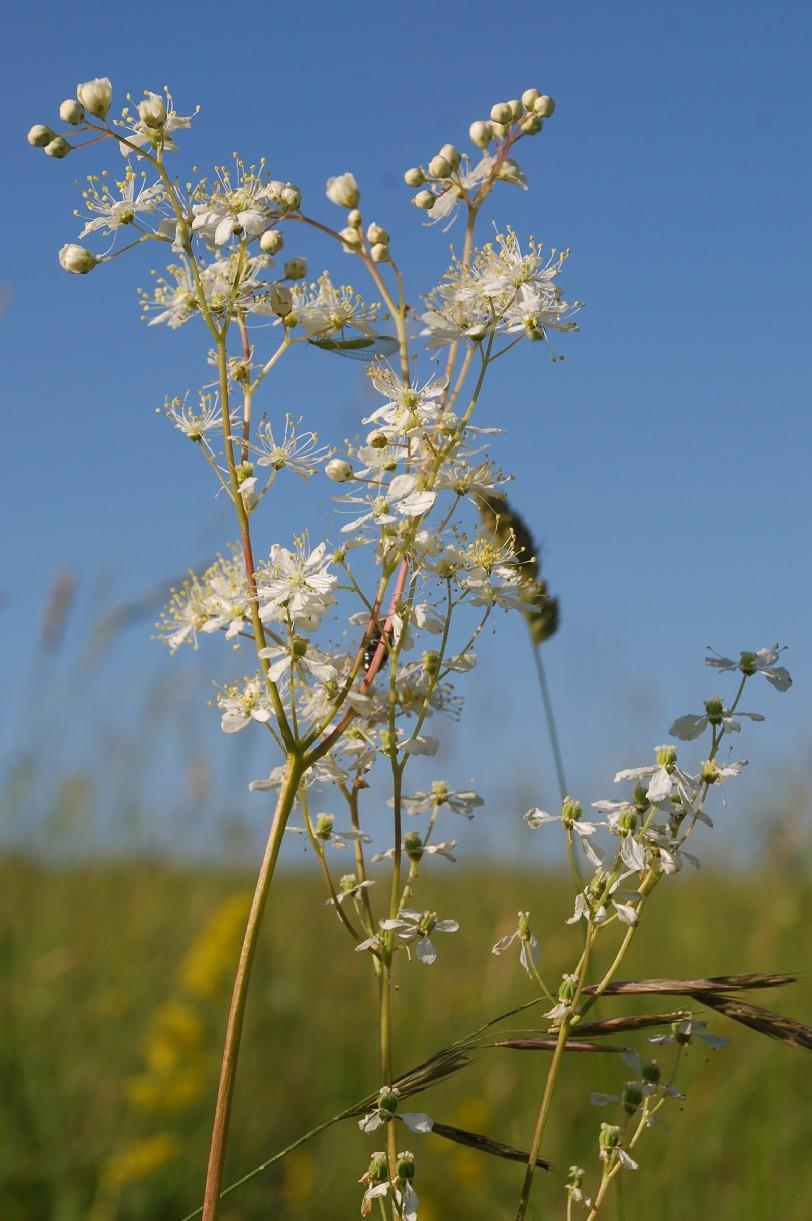 Filipendula vulgaris 22