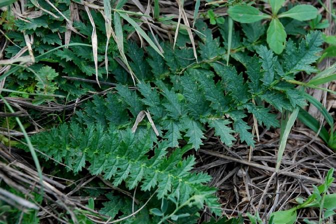 Filipendula vulgaris 4