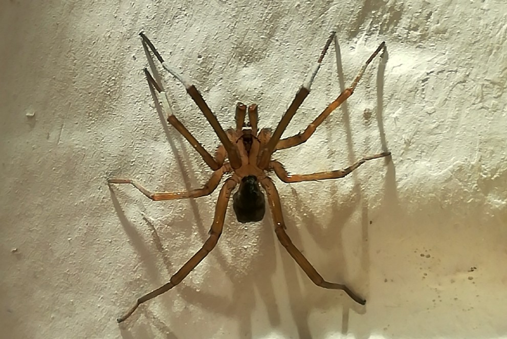 Filistata insidiatrix - Filistatidae