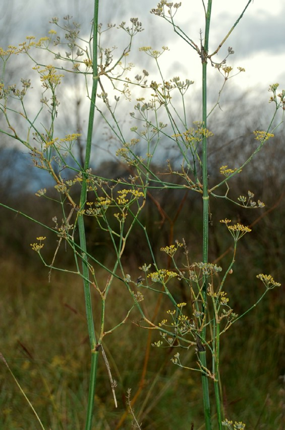 Foeniculum vulgare subsp. piperitum 10