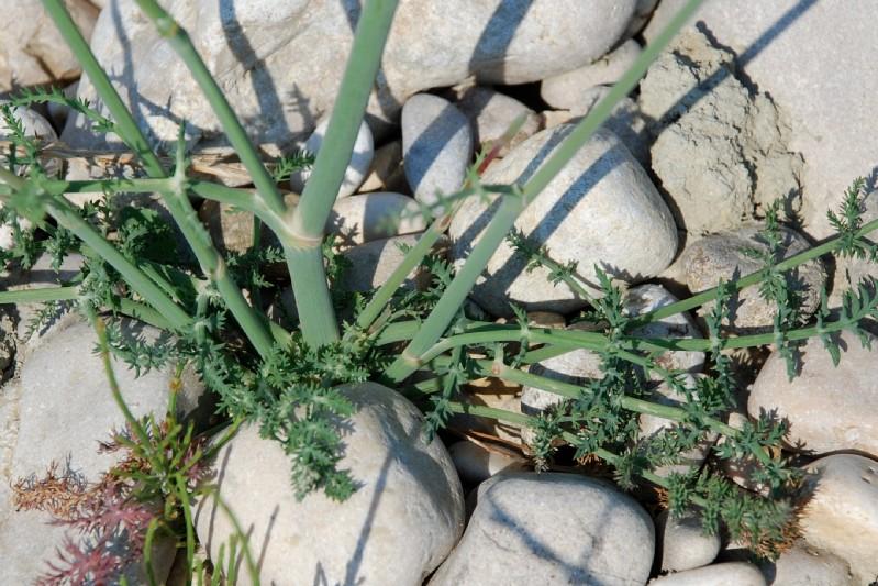 Foeniculum vulgare subsp. piperitum 15