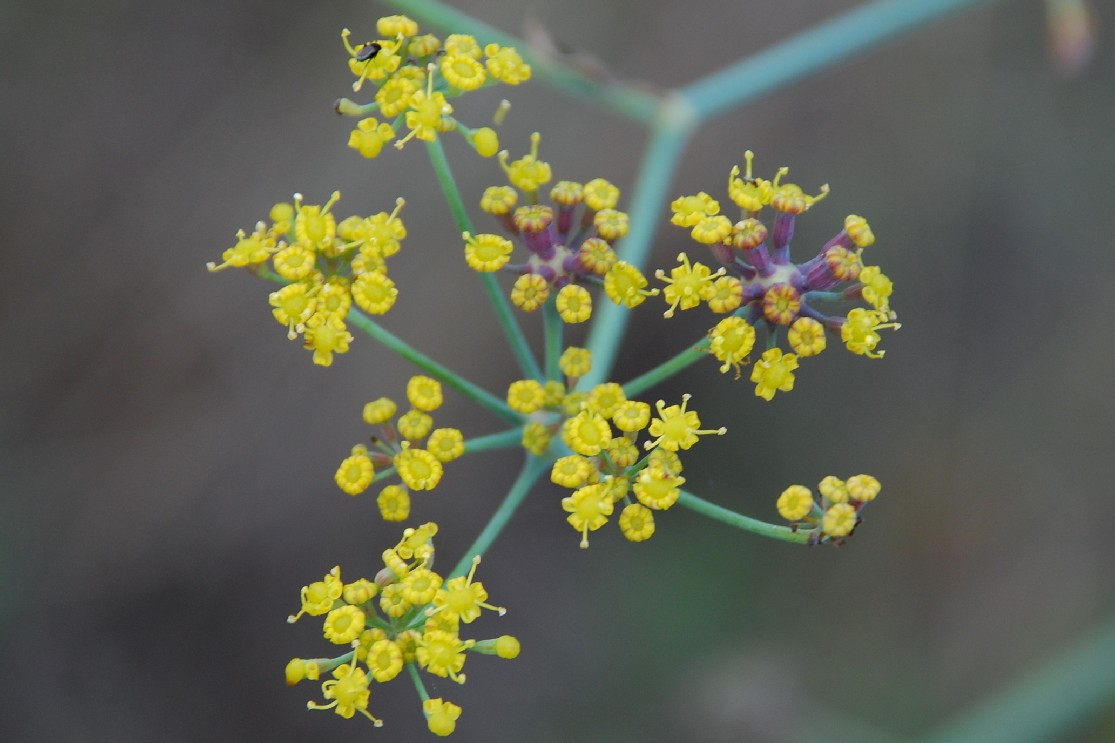 Foeniculum vulgare subsp. piperitum 4