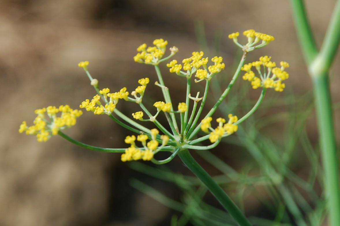 Foeniculum vulgare subsp. vulgare 13