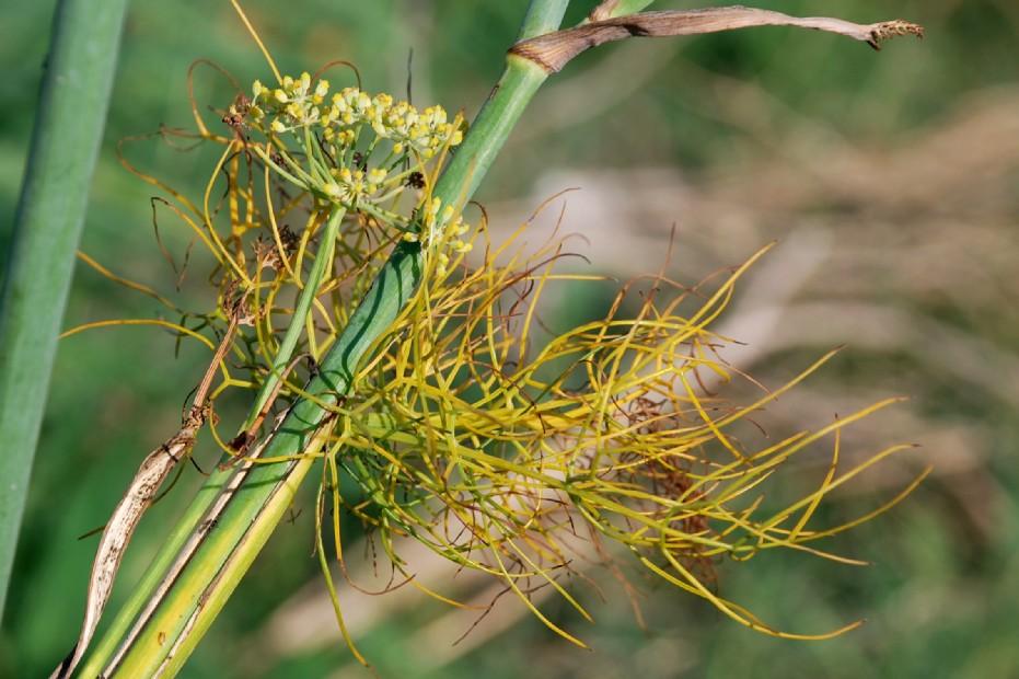 Foeniculum vulgare subsp. vulgare 9