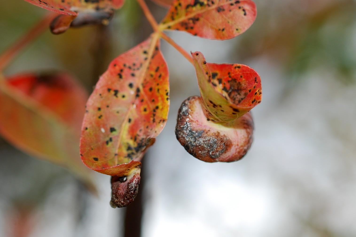 Forda formicaria - Rhynchota, Aphidoidea