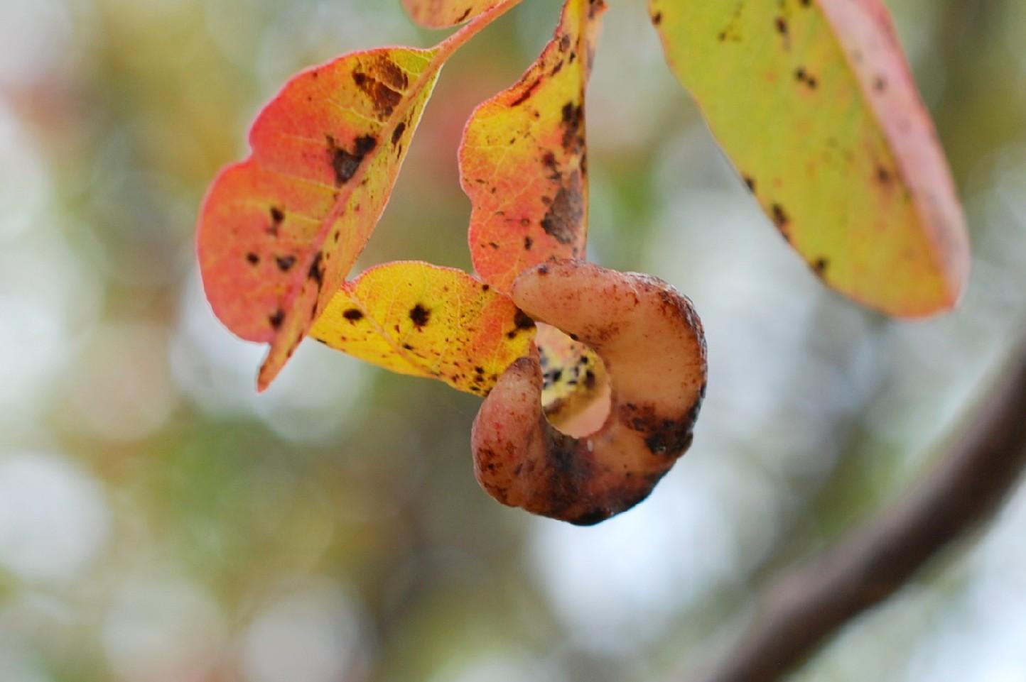 Forda formicaria - Rhynchota, Aphidoidea 2