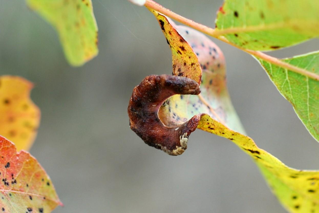 Forda formicaria - Rhynchota, Aphidoidea 3