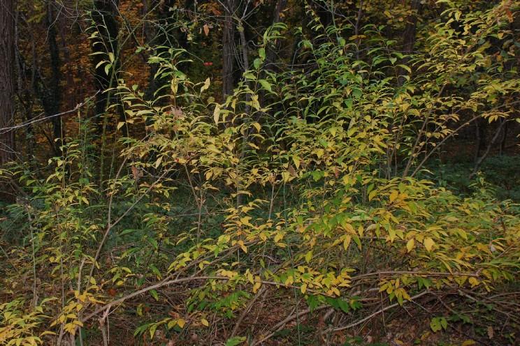 Forsythia viridissima 10