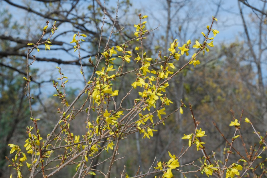 Forsythia viridissima 15