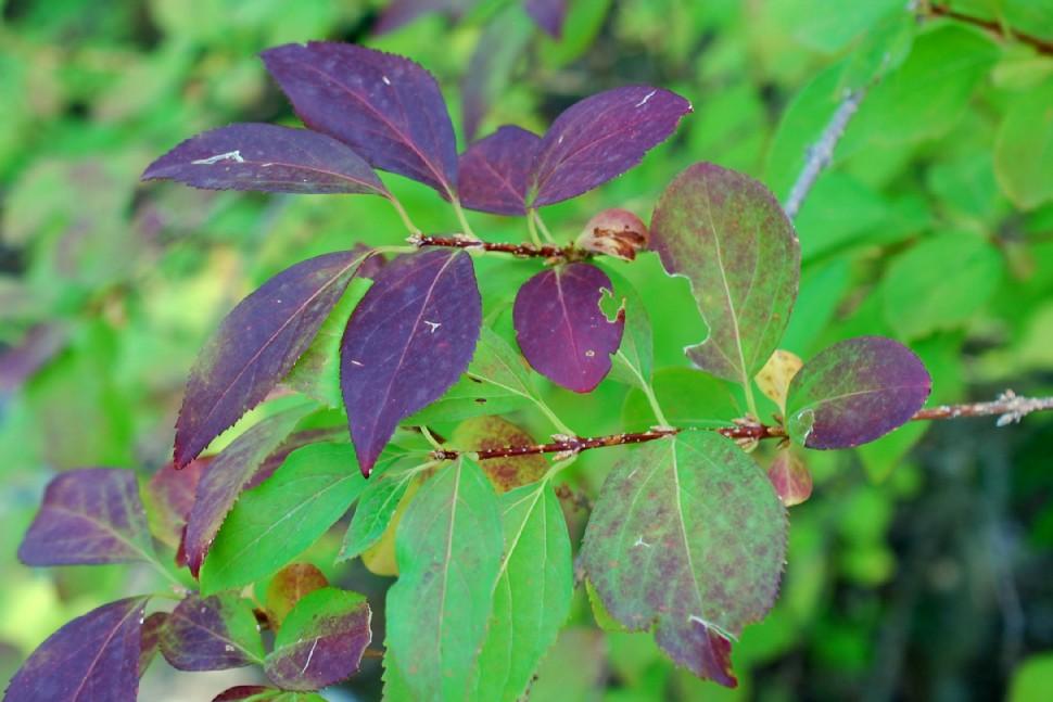 Forsythia viridissima 16