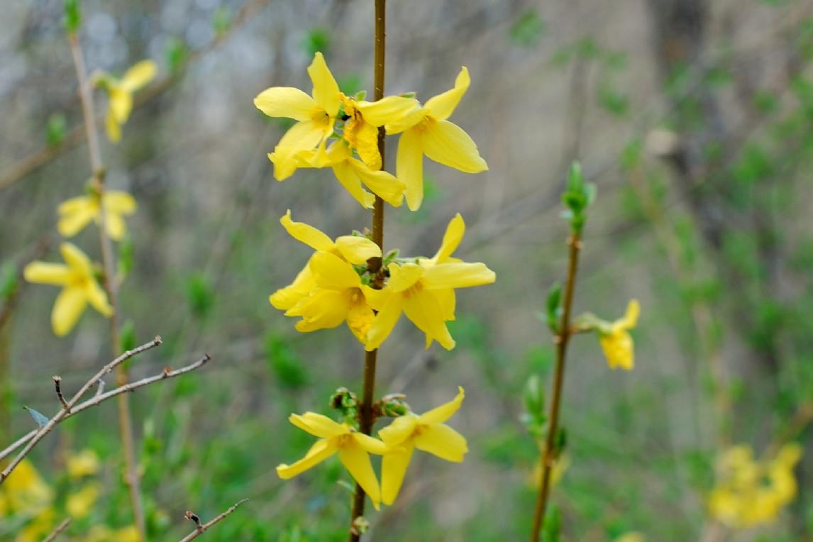 Forsythia viridissima 19