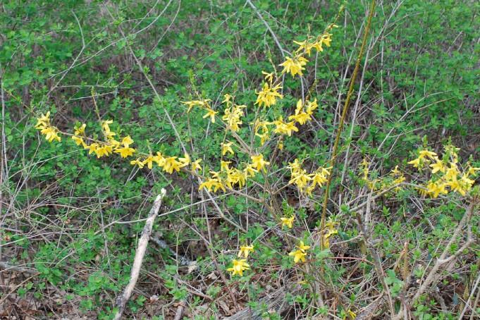 Forsythia viridissima 20