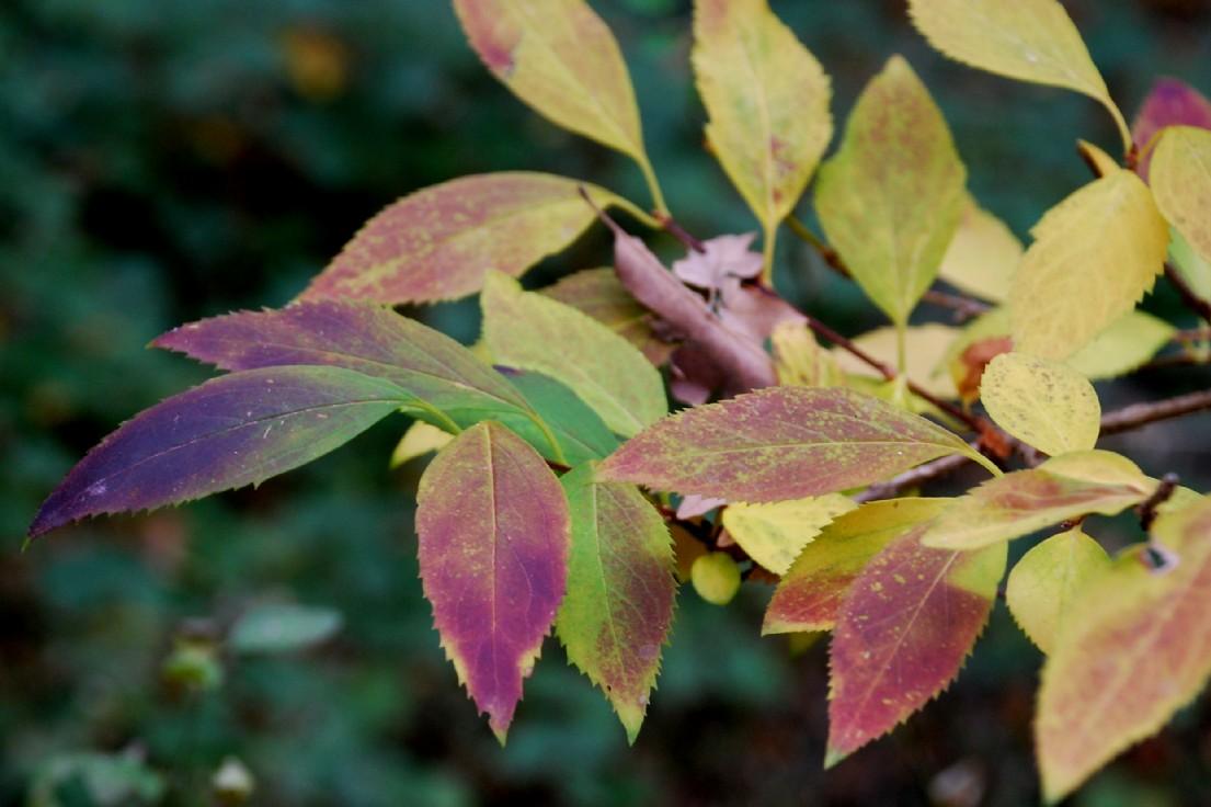 Forsythia viridissima 8