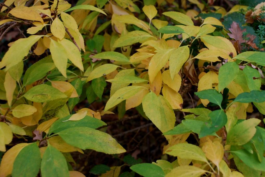Forsythia viridissima 9