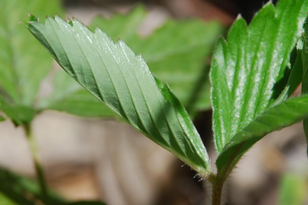 Fragaria viridis 3