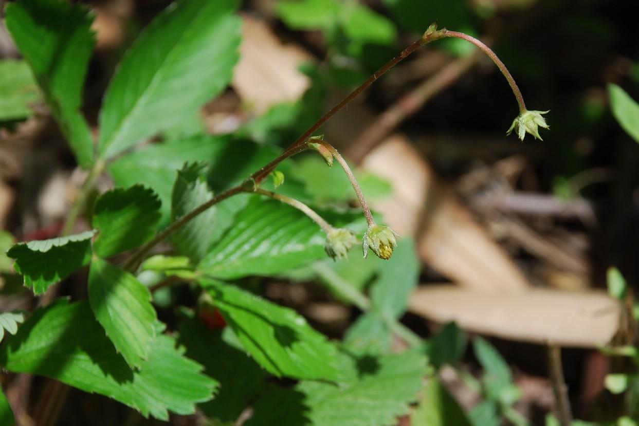 Fragaria viridis 4