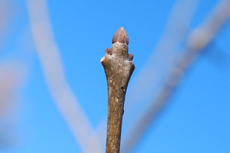 Fraxinus angustifolia subsp. oxycarpa 11