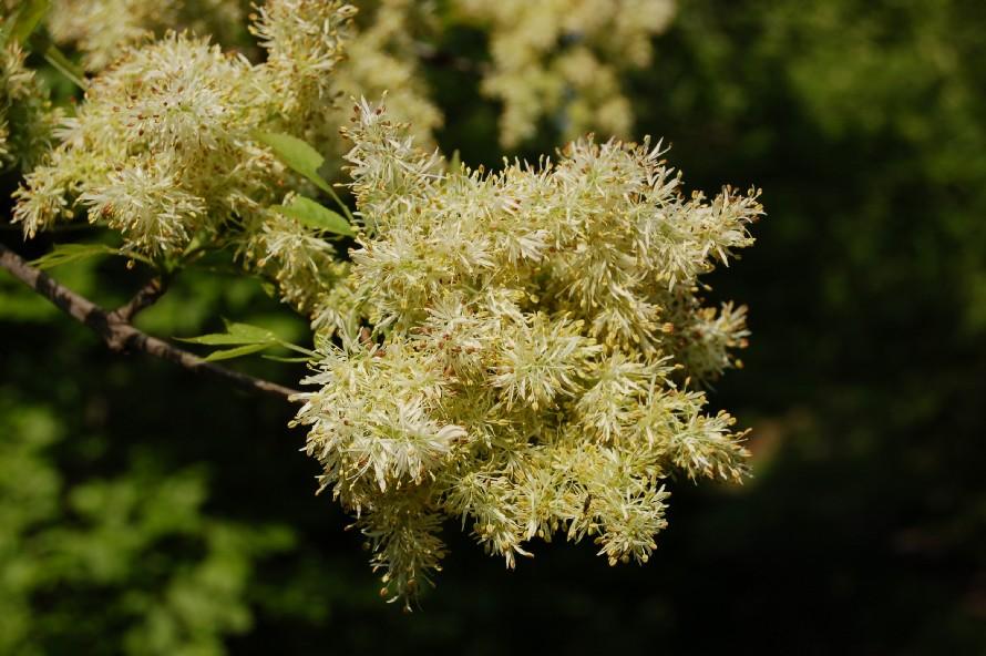 Fraxinus ornus subsp. ornus