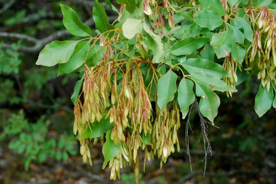 Fraxinus ornus subsp. ornus 15
