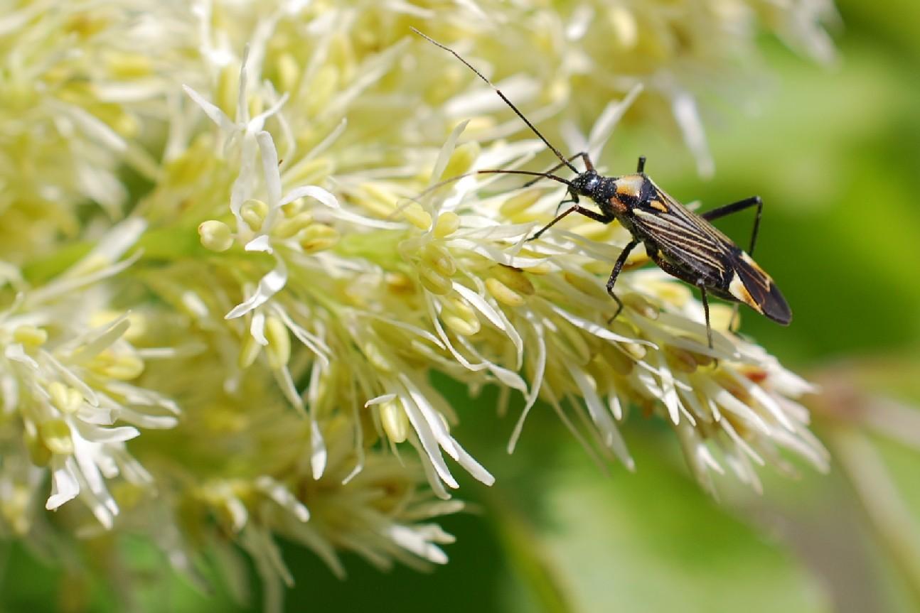 Fraxinus ornus subsp. ornus 19