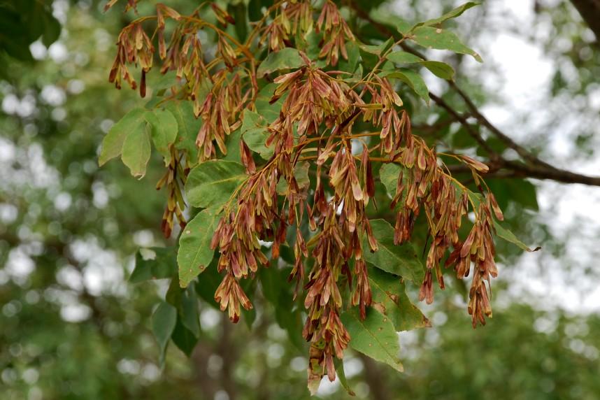 Fraxinus ornus subsp. ornus 2