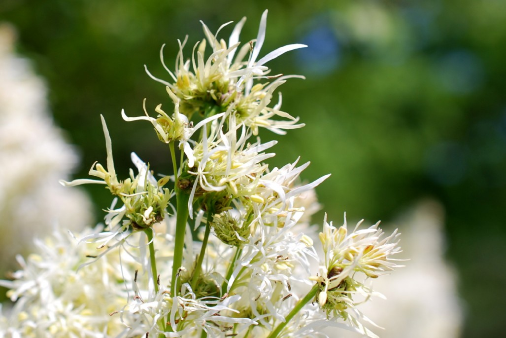 Fraxinus ornus subsp. ornus 20