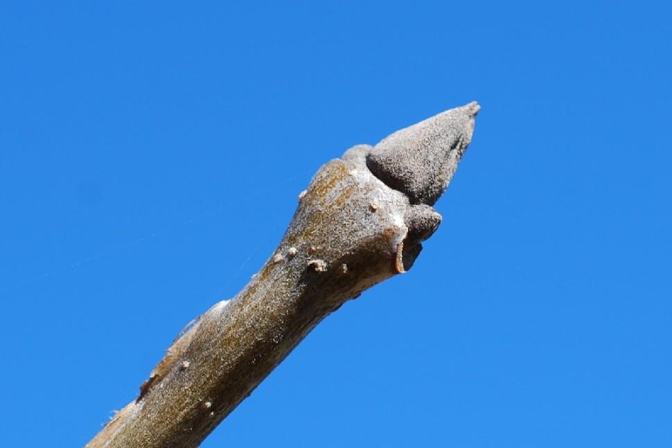 Fraxinus ornus subsp. ornus 22