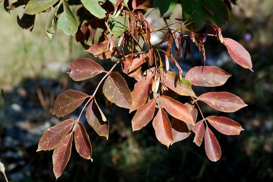 Fraxinus ornus subsp. ornus 5