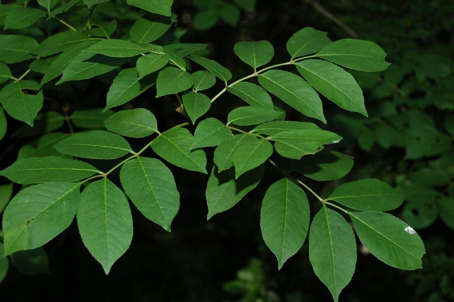 Fraxinus ornus subsp. ornus 6