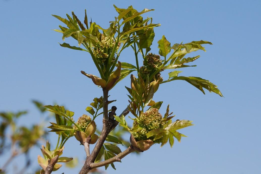 Fraxinus ornus subsp. ornus 7