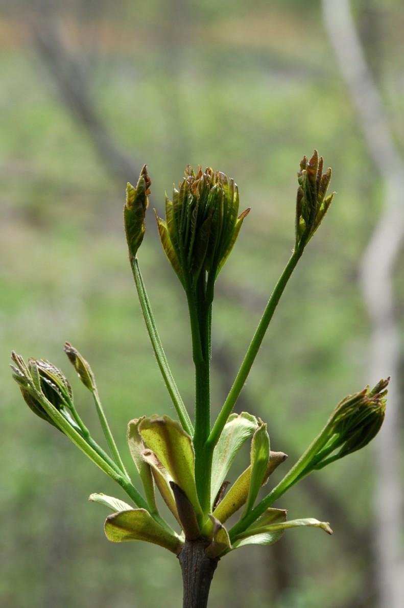 Fraxinus ornus subsp. ornus 8