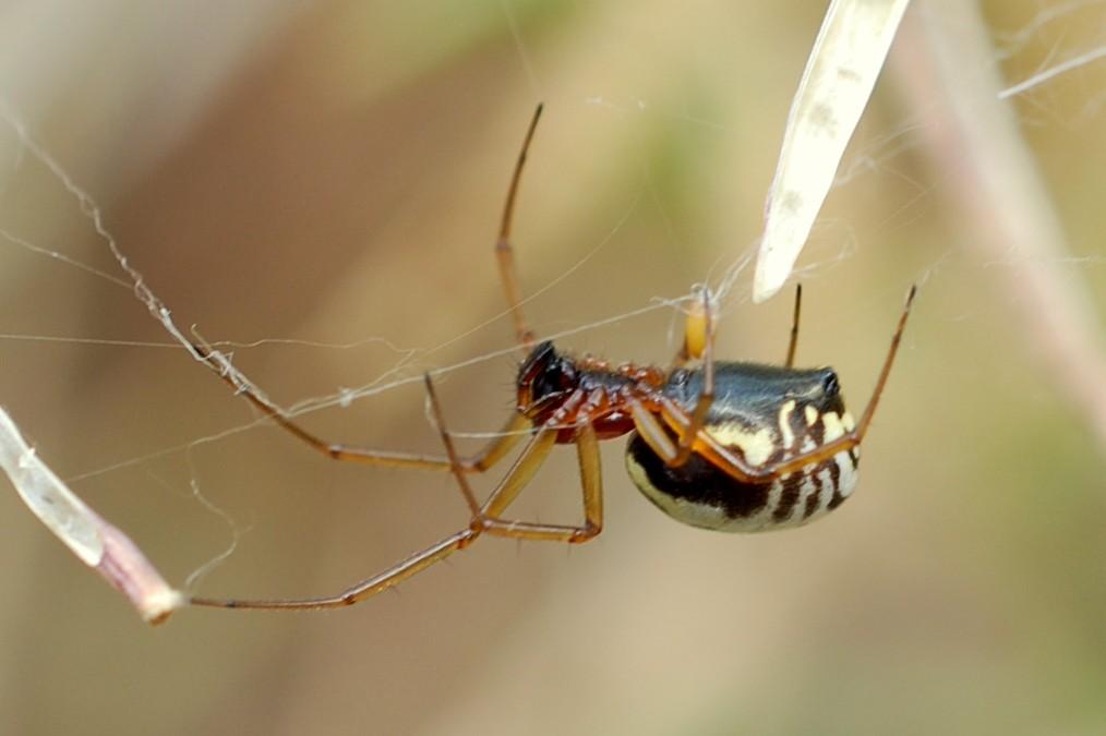 Frontinellina frutetorum - Linyphiidae