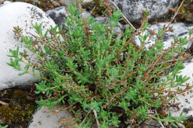 Fumana thymifolia 11
