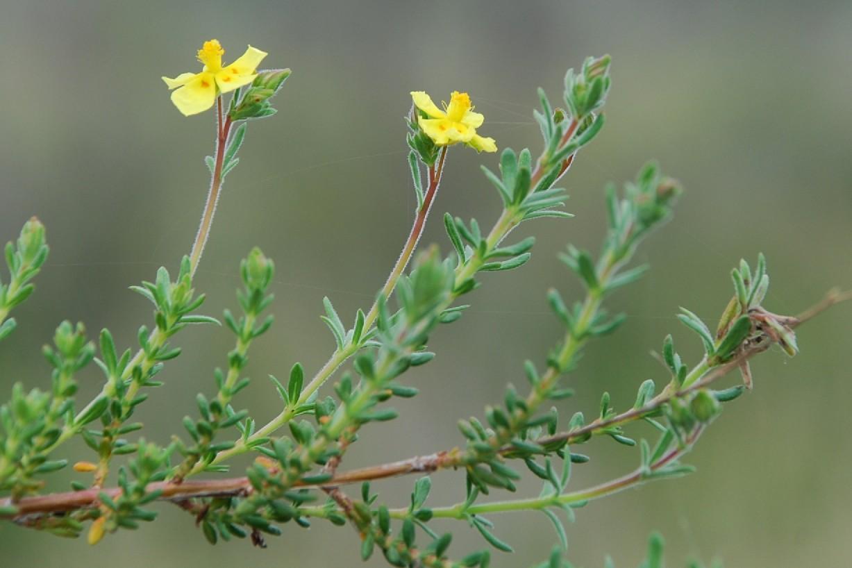 Fumana thymifolia 13