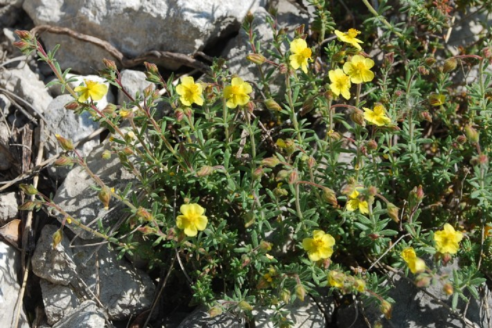 Fumana thymifolia 19