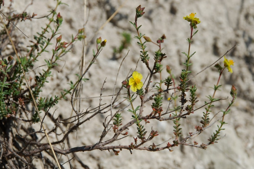 Fumana thymifolia 20