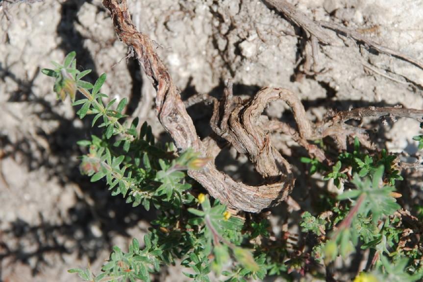 Fumana thymifolia 21