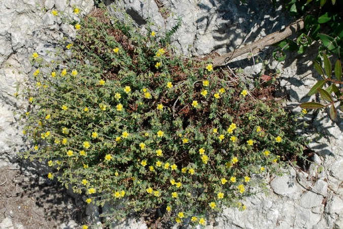 Fumana thymifolia 23