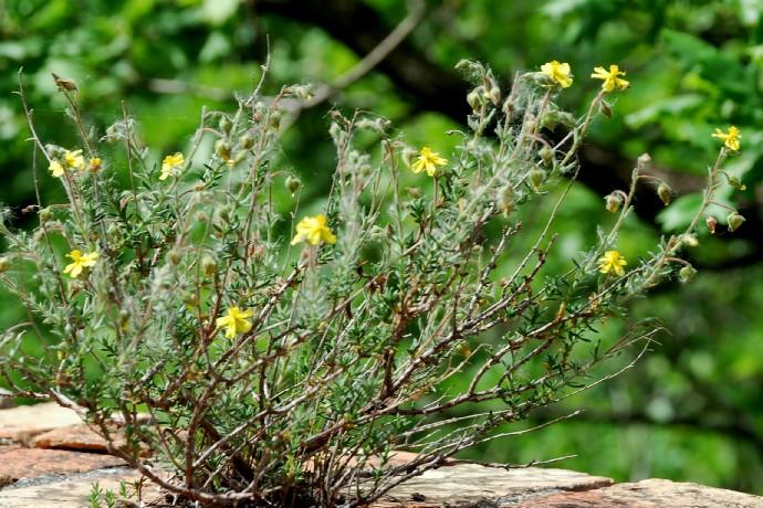 Fumana thymifolia 4
