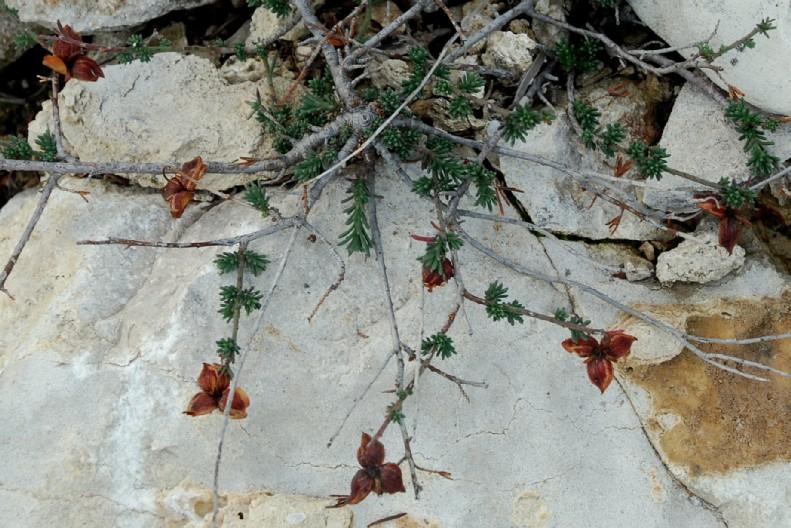 Fumana thymifolia 5
