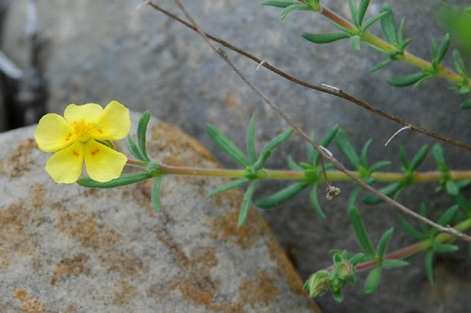 Fumana thymifolia 8