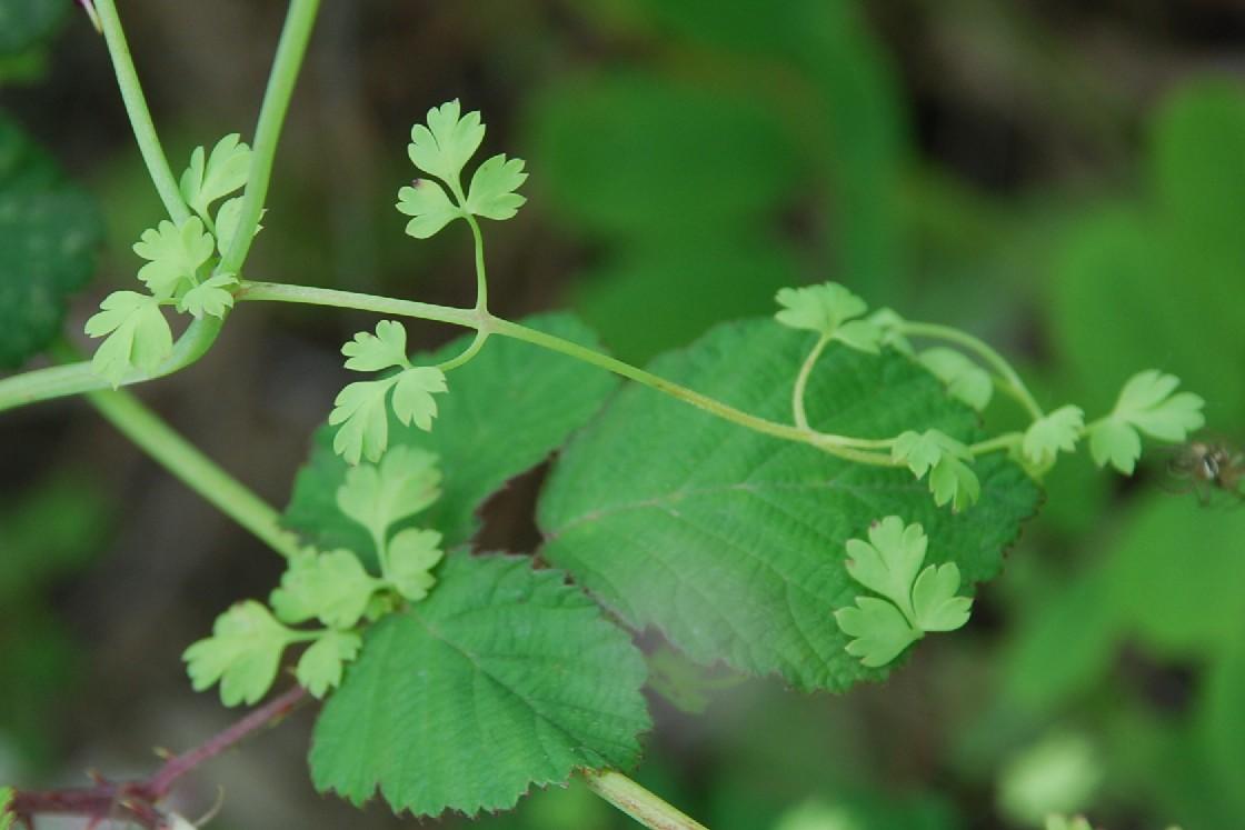 Fumaria capreolata subsp. capreolata 15