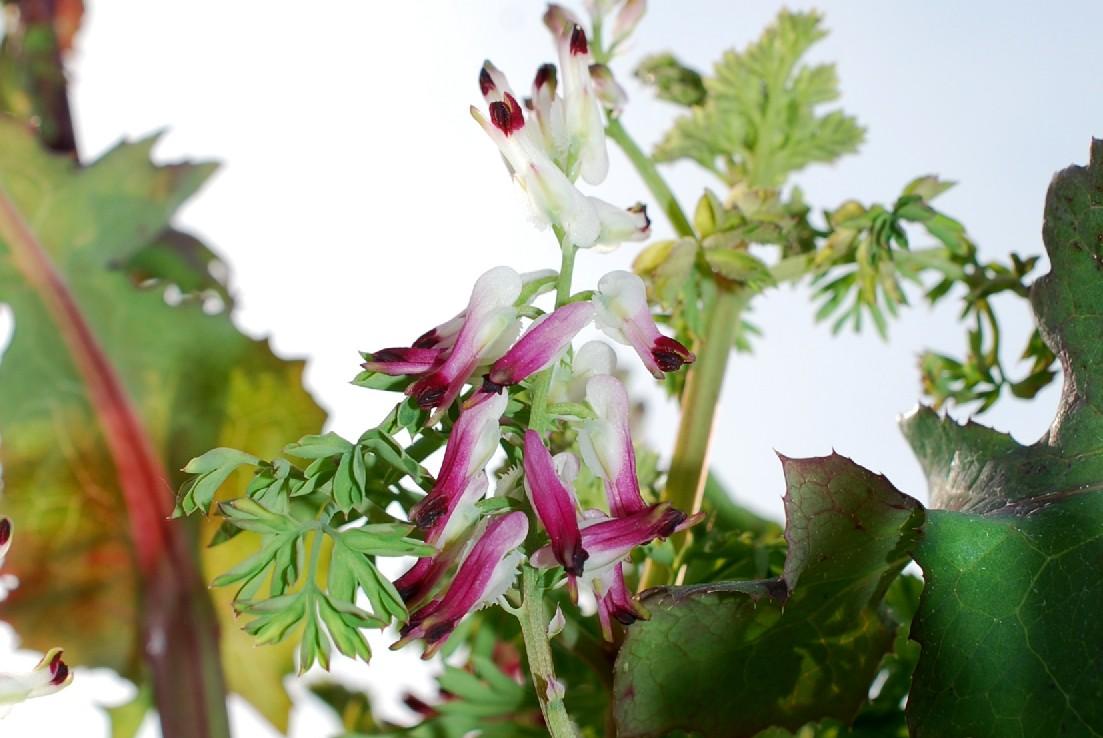 Fumaria capreolata subsp. capreolata 31