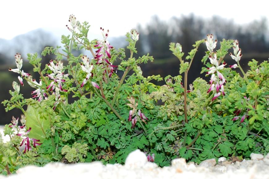 Fumaria capreolata subsp. capreolata 34
