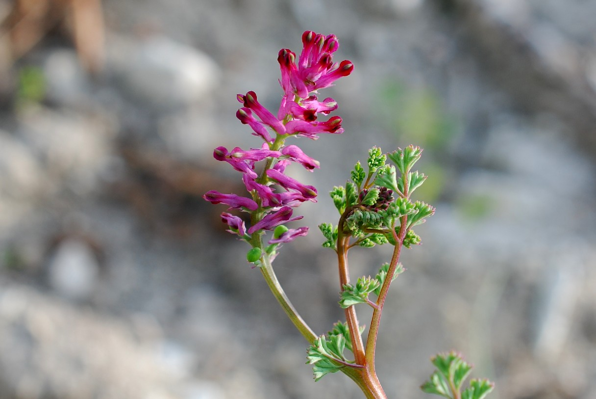 Fumaria officinalis subsp. officinalis 14