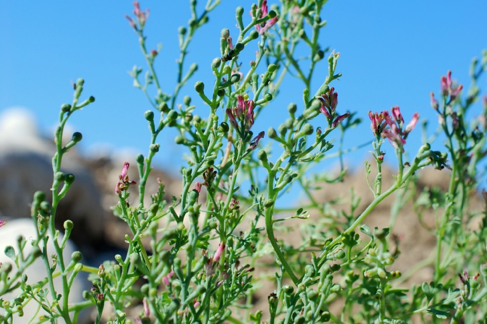 Fumaria officinalis subsp. officinalis 16