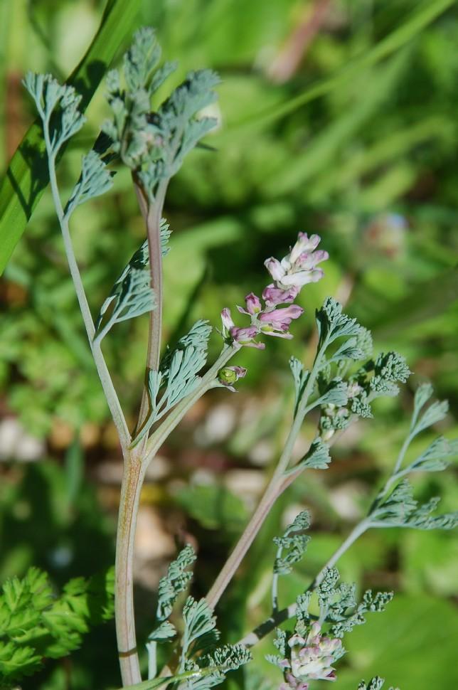 Fumaria parviflora 9